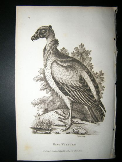 Shaw C1810 Antique Bird Print. King Vulture | Albion Prints